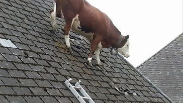 02 vache 2